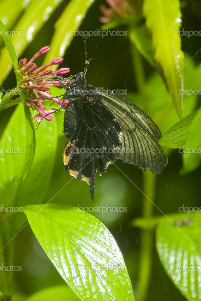 Black butterfly covered in droplets
