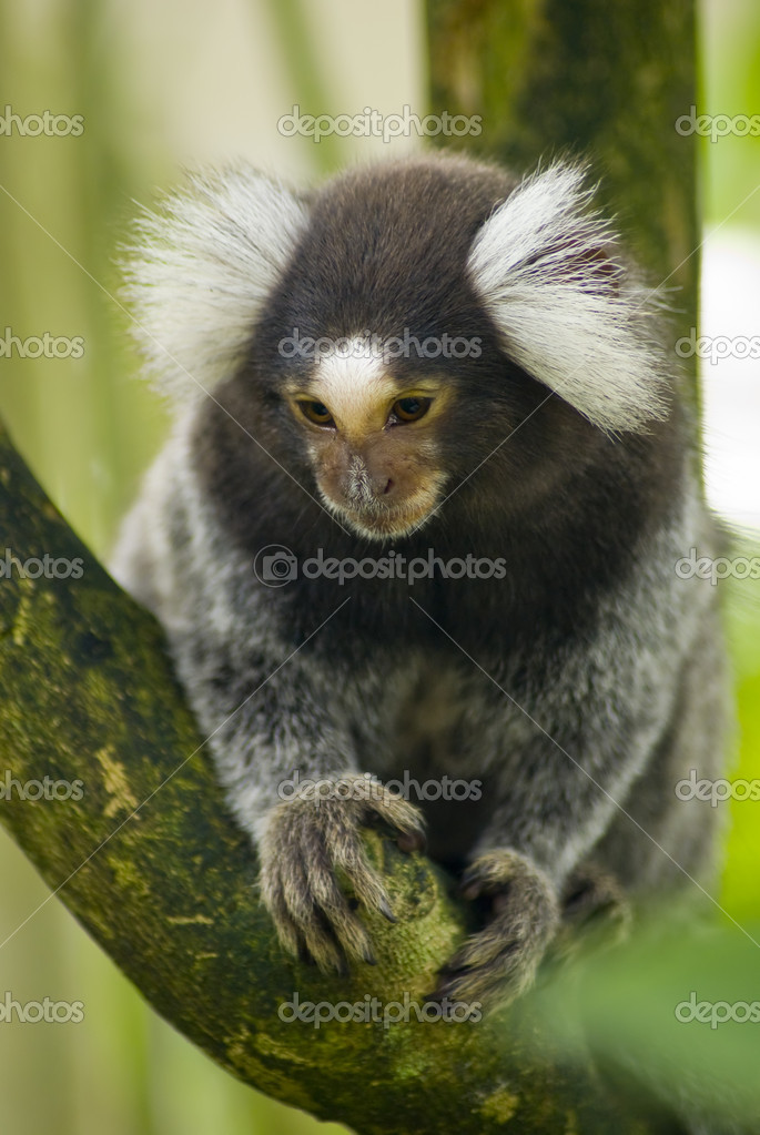 Marmoset monkey on a branch