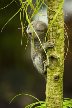 Baby Marmoset monkey on a branch
