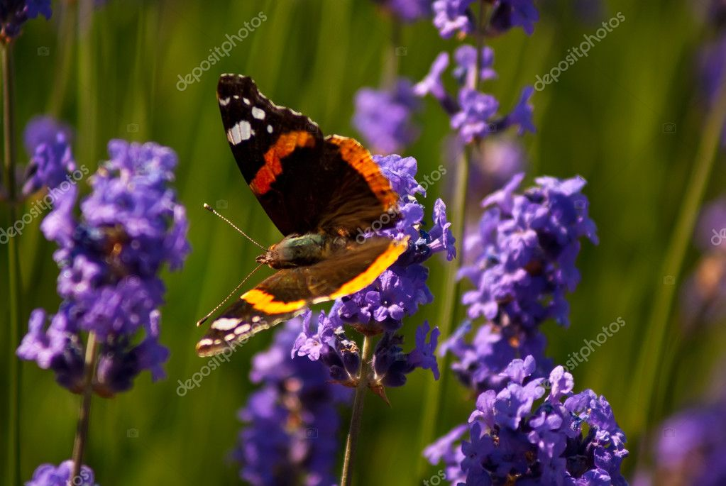 Red Admiral butterfly on lavender