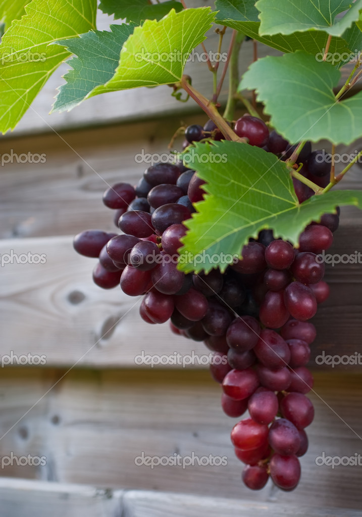 Close up of red grapes ready for harvest