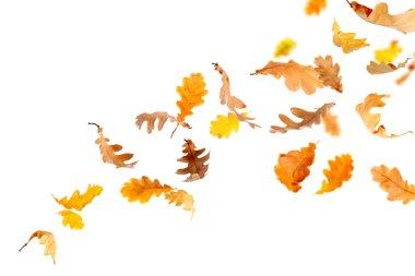 Falling Oak Leaves