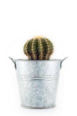Little cactus in bucket