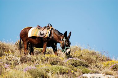 Donkey on Santorini island, Greece