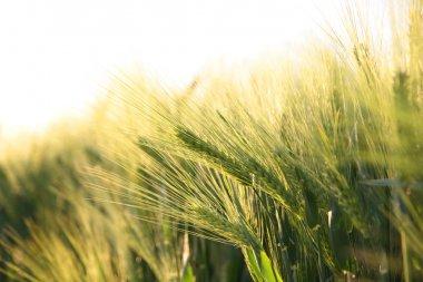 Ripe crop - corn field detail
