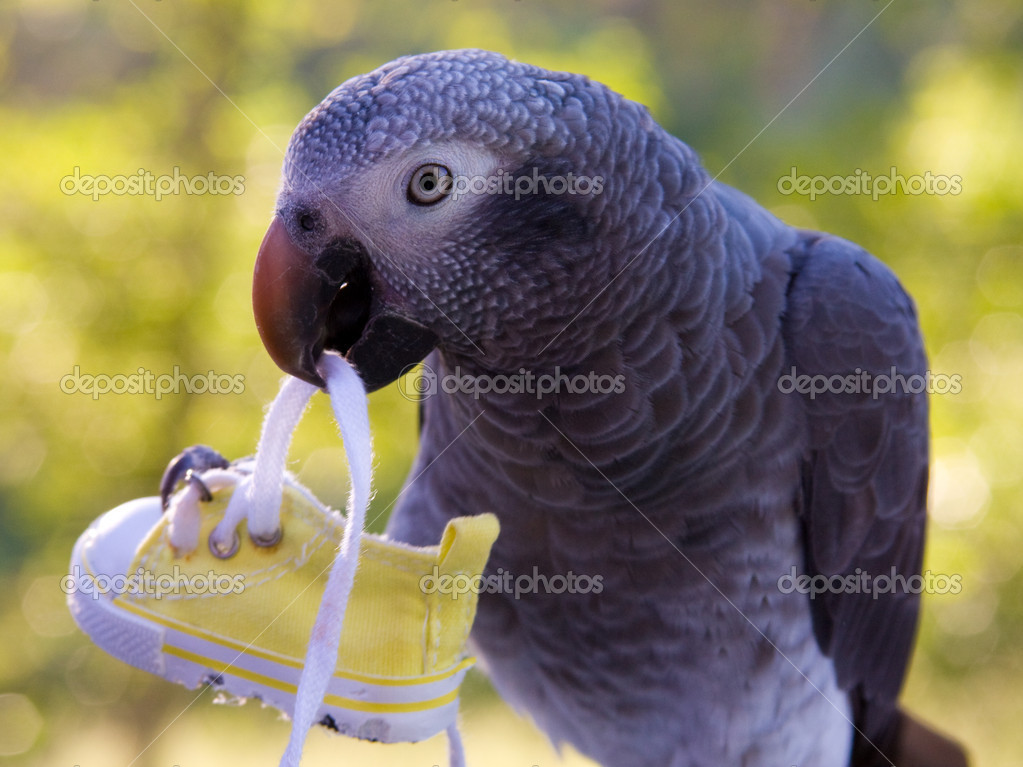 Grey Parrot Holding Shoe