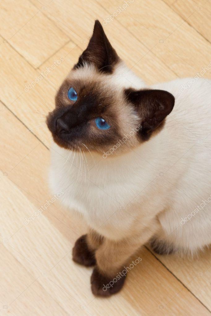Faccia Di Gatto Siamese Con Occhi Azzurri Vivaci Foto Stock