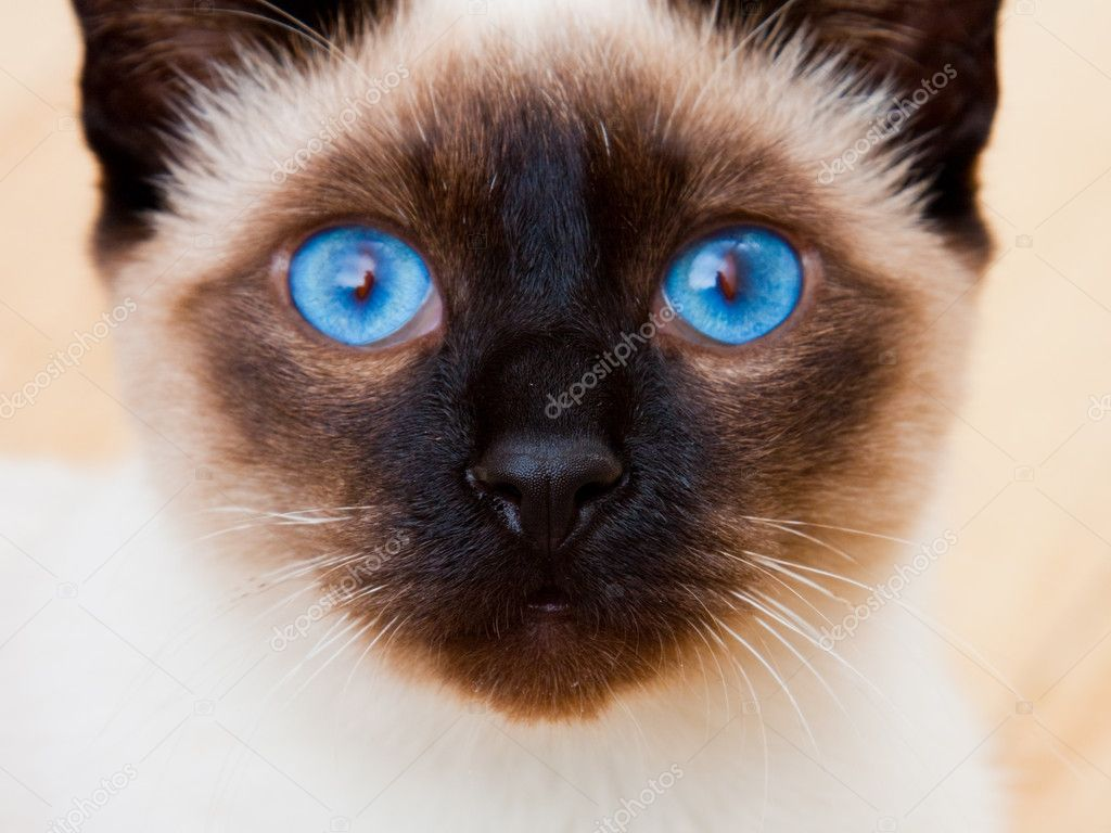 Siamese Cat Face With Vivid Blue Eyes