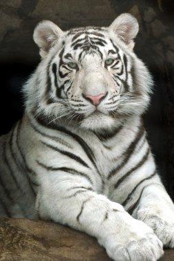 """Картина, постер, плакат, фотообои """"Тигр"""", артикул 2554729"""