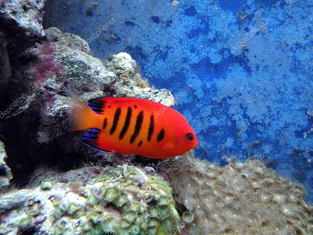 Los peces rojos y arrecifes de coral en el acuario — Foto de Andriuss