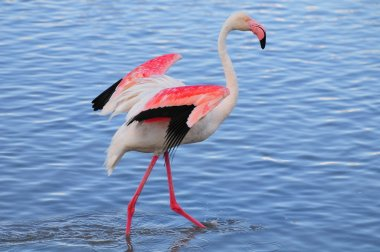 Greater flamingo flapping its wings