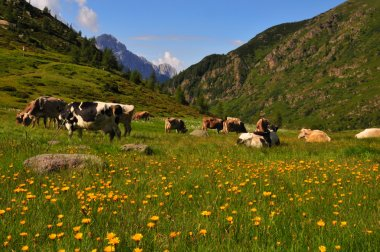 Cows grazing in a sunny alpine meadow