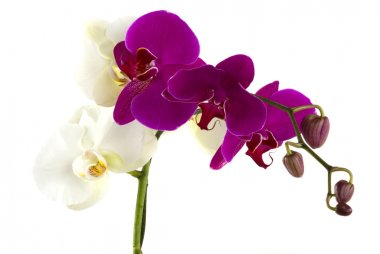 Fresh Orchids