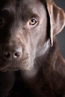Handsome Chocolate Labrador