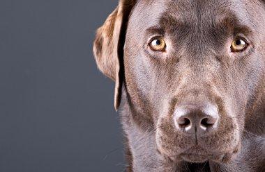 Stunning Chocolate Labrador