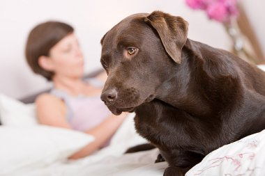 Labrador alert in owner's Bed