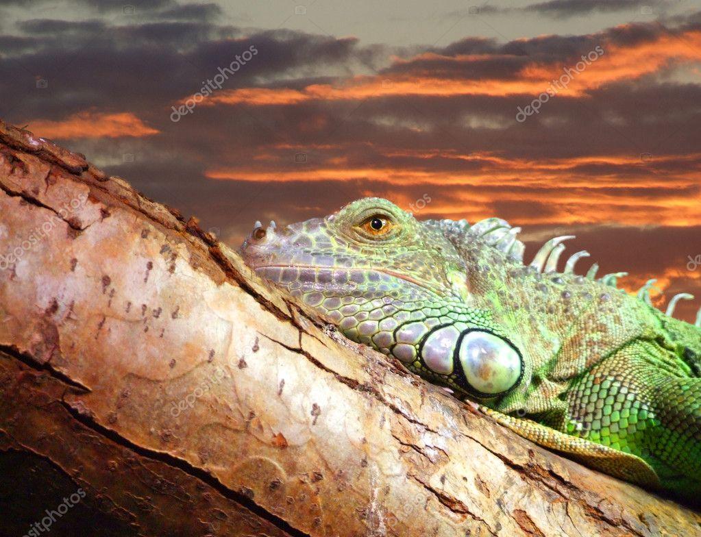 Lazy iguana 01