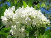 akát květ