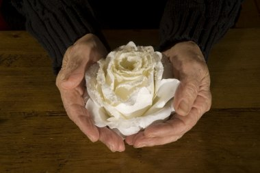 Old hands with white rose