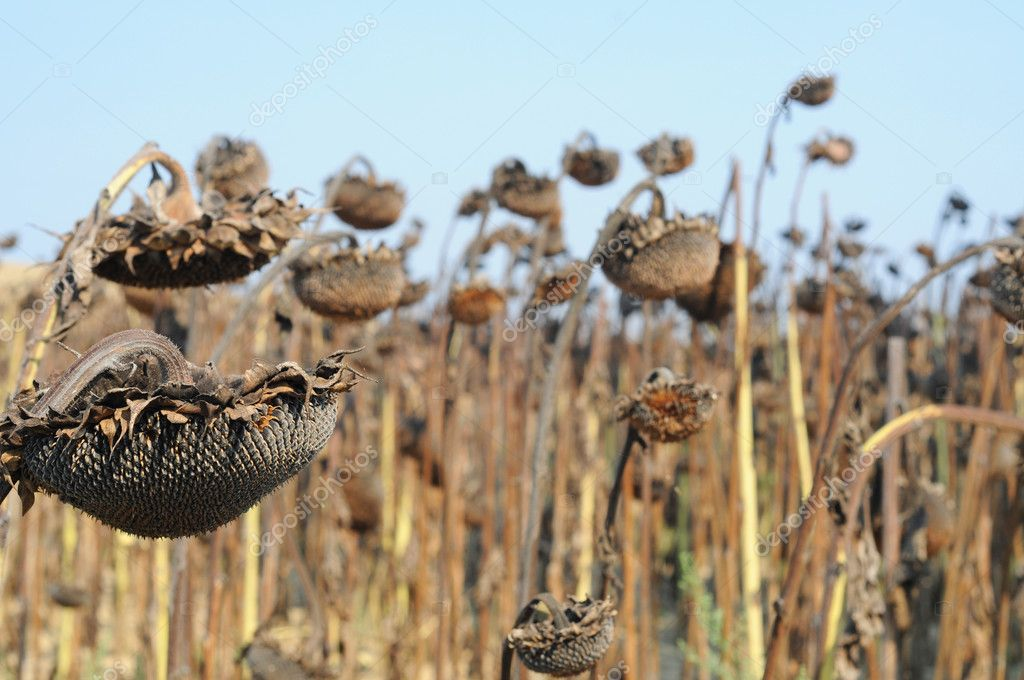 Field of drying sunflowers in Tuscany