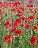 Summer field with red poppies