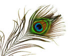 Detail of peacock feather eye