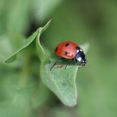 Photo Ladybug on a leaf