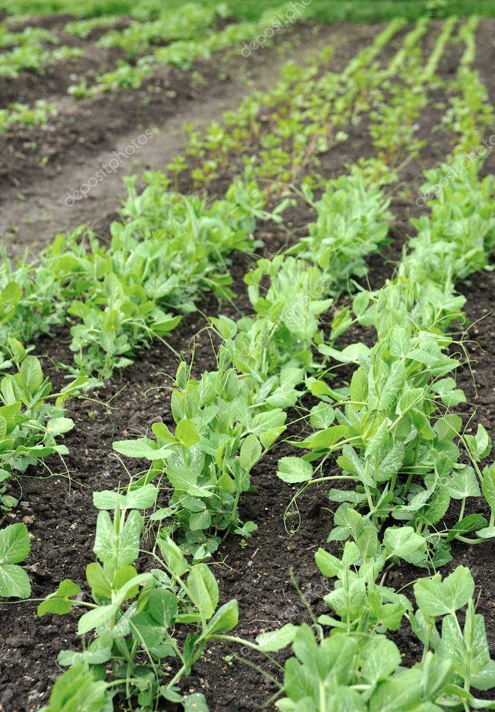 Green peas growing in planting bed