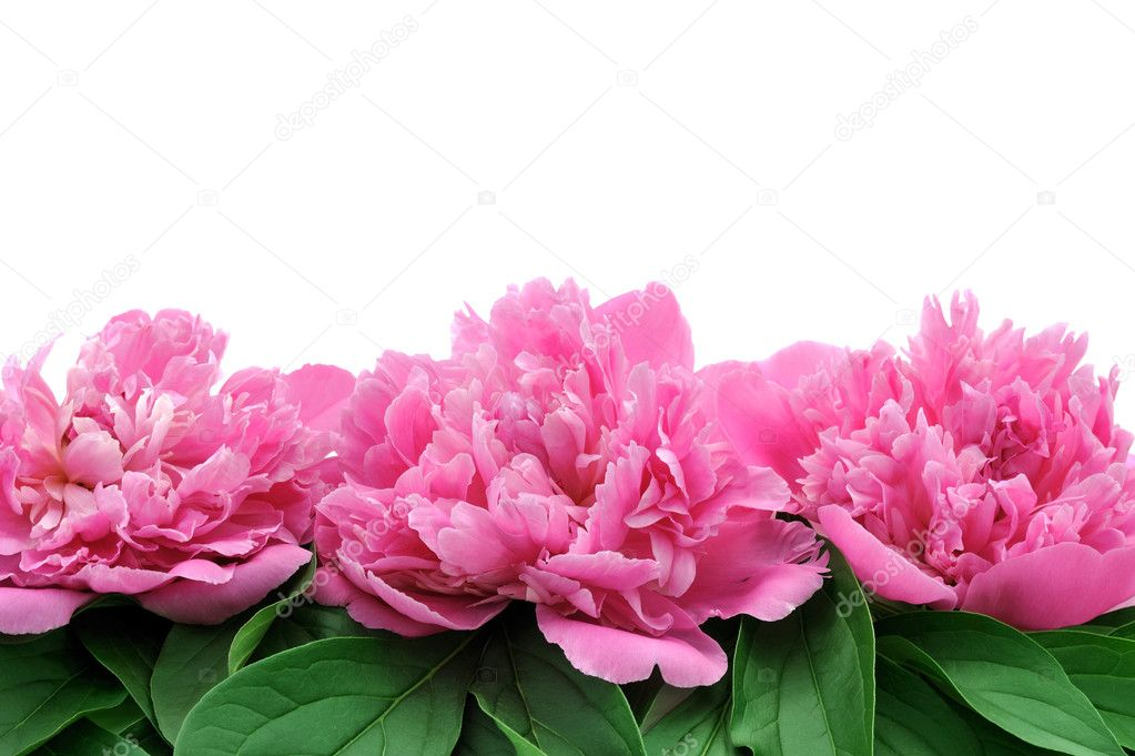 Peony over white background
