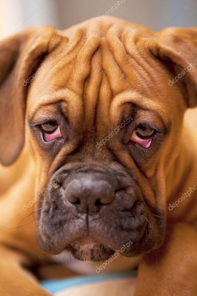 German Boxer Puppy Dog With Sad Eyes Stock Photo C Apeyron 2409618