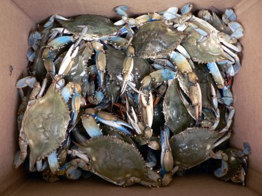 Crab - live blue crabs in box 2