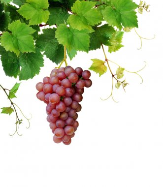 Grapevine with pink grape cluster