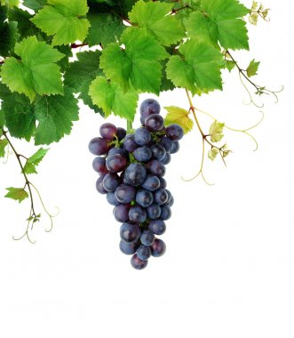 Grapevine with blue grape cluster