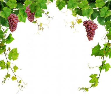 Grapevine border with pink grapes