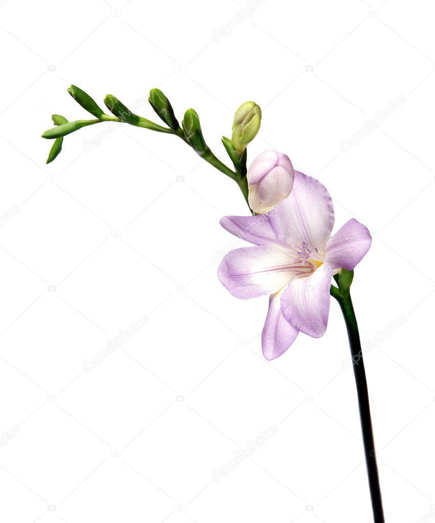 Violet freesia