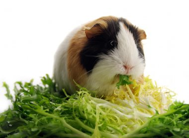 Small guinea pig eating lettuce
