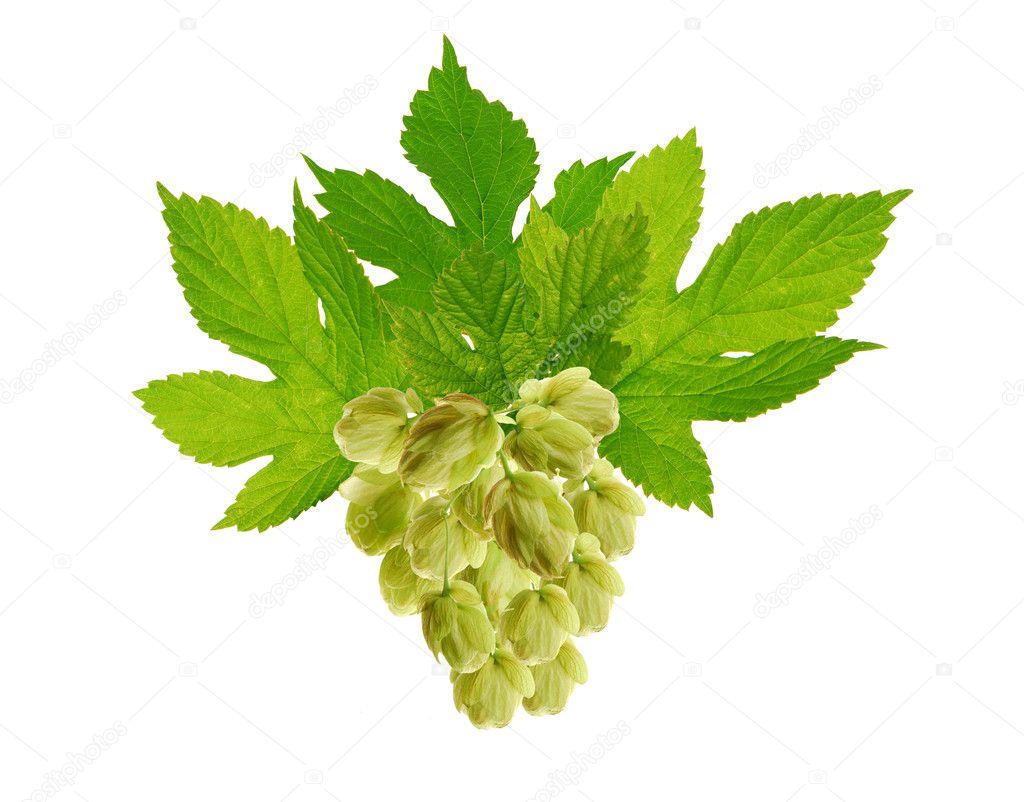 Decorative hop plant
