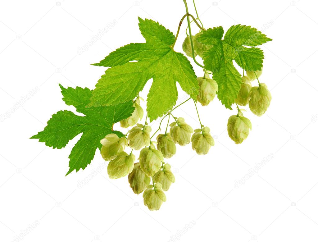 Isolated hop plant in detail