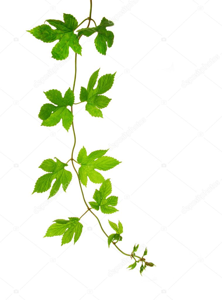Isolated hop plant branch