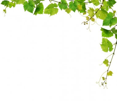 Green grapevine framing, isolated on white background stock vector