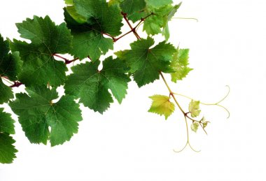 Isolated grapevine