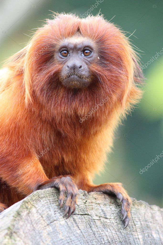 Golden Lion Tamarin monkey perched on lo