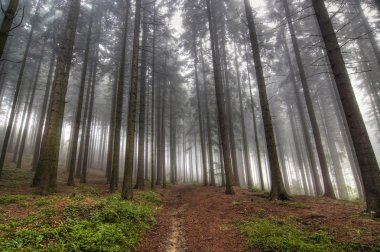 Conifer forest in fog