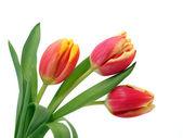 Fotografia tulipani