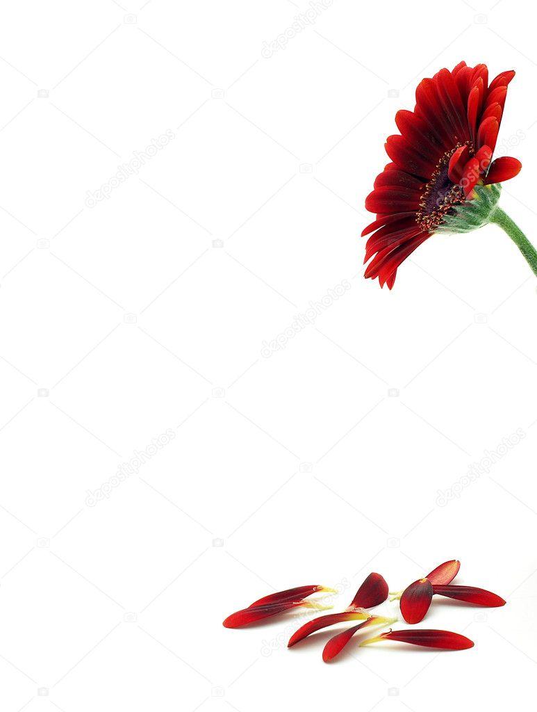 Gerber flower petals
