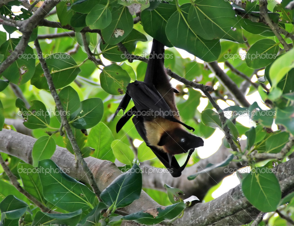 Maldivian bat