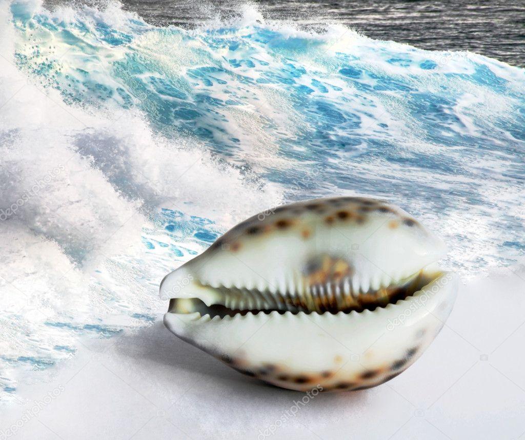 Maldivian shell