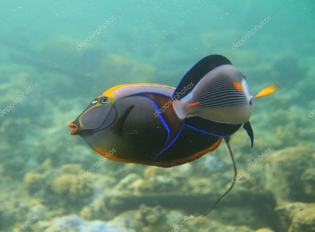 Sohal surgeonfishes