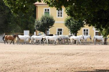 Herd of horses, Oldkladruby horse