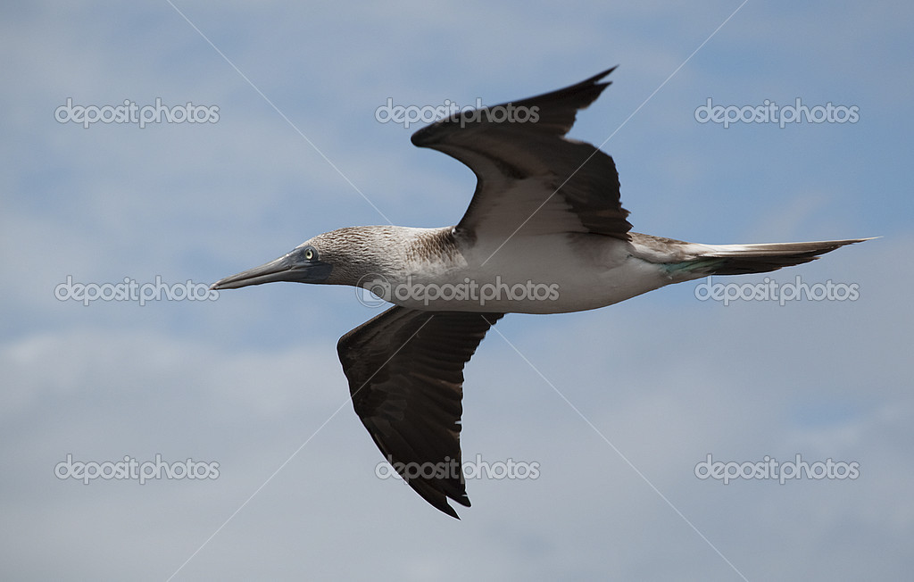 Blue Footed Booby in Flight